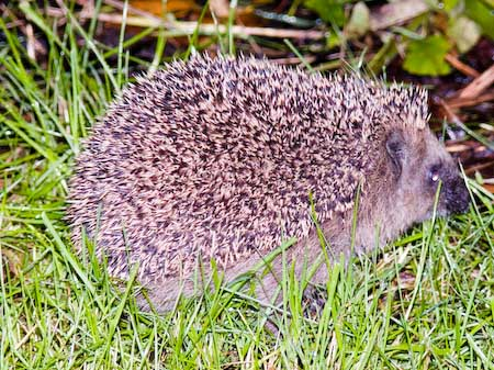 Hedgehog_P1020199.jpg